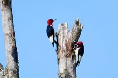 Redhead woodpeckers