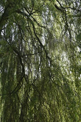 Unter der Trauerweide (Salix×sepulcralis); Holbek, Nordfriesland (13)