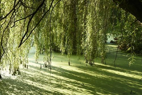 Unter der Trauerweide (Salix×sepulcralis); Holbek, Nordfriesland (9)