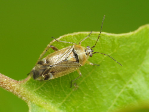 Harpocera thoracica (Miridae)
