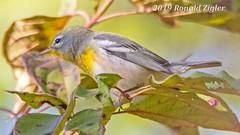 Northern Parula Warblers