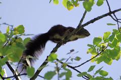 Sacripant fuyant à contre jour dans les branches