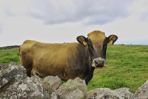 Azorean Happy Cow