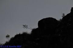 Dyckia tomentosa in situ - Arroio do Meio