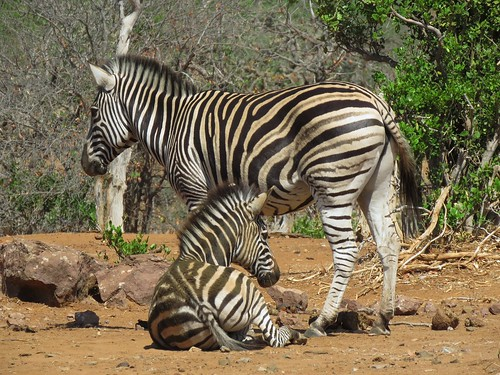 Zebra and Baby  /  Zebra en Baba
