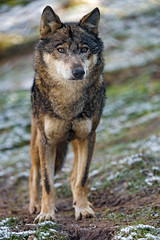 Wolf, just standing