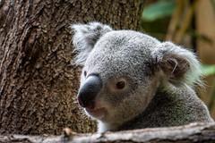 Koala ....