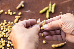 Opening Soybean Pod