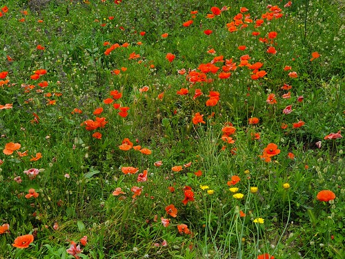 Wildflowers at the ruins of Pompeii (1)