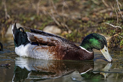 Male mallard on the water II