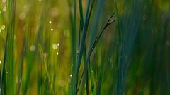 Dewy Grass.