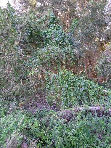 Anredera cordifolia plant NC5
