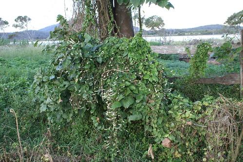 Anredera cordifolia plant NC4