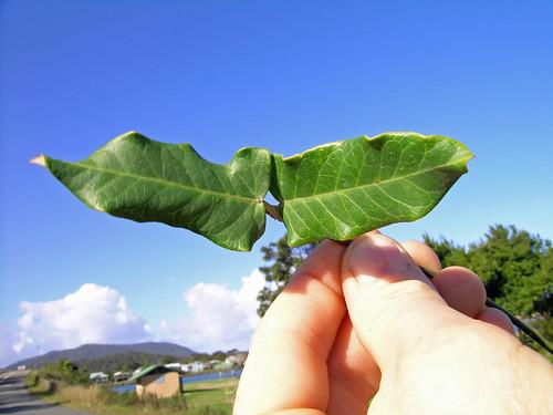 Araujia sericifera leaf NC4