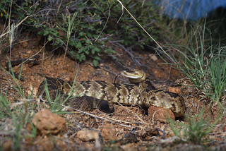 Northern Black-tailed Rattlesnake (Crotalus molossus)