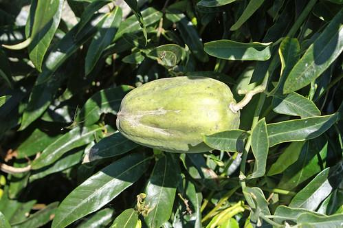 Araujia sericifera fruit NC1