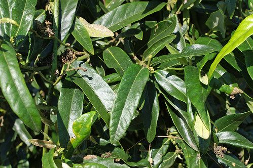 Araujia sericifera leaf NC2