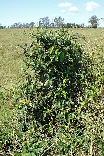 Araujia sericifera plant NC1