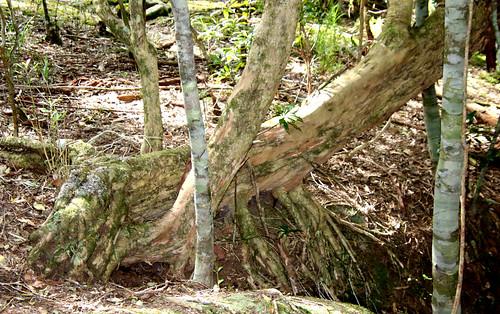Water gum (Tristaniopsis laurina) & with Coachwood (Ceratopetalum apetalum)