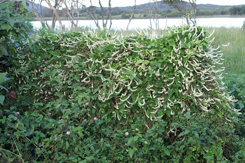 Anredera cordifolia plant NC2