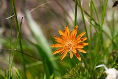 Tiny orange mountain wildflower