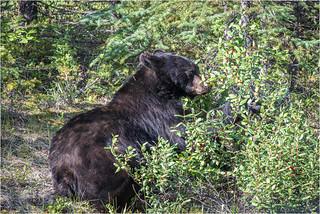Black Bear . Canada