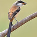 Long-tailed Shrike (Lanius schach) 棕背伯劳