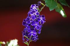 Flor celeste (Duranta erecta)