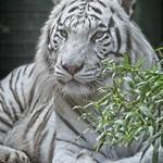 Bengala White Tiger - https://www.flickr.com/people/136373368@N02/
