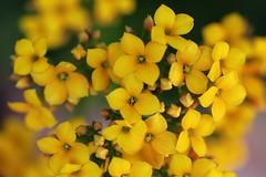 Flor-da-fortuna (Kalanchoe blossfeldiana)