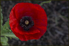 I love Remembrance Poppies-1=