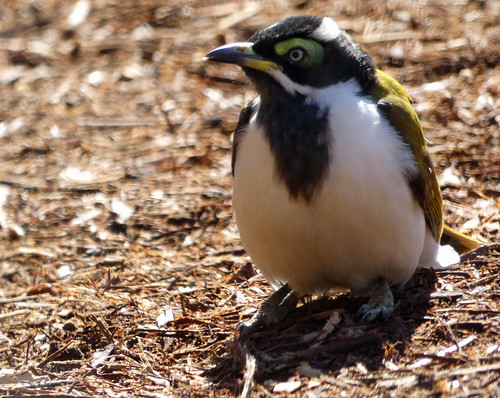 20190604_0414 Blue-faced Honeyeater - Entomyzon cyanotis (juv)