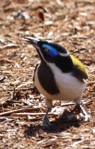 20190604_0412 Blue-faced Honeyeater - Entomyzon cyanotis
