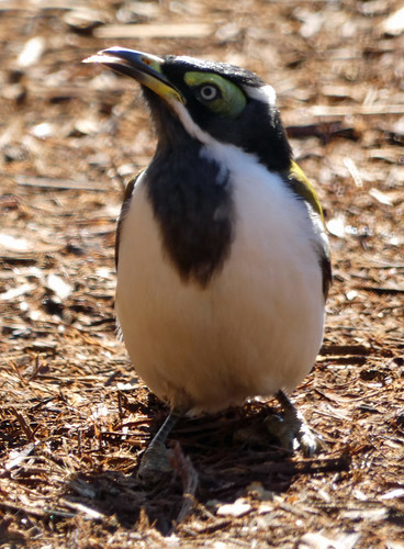 20190604_0417 Blue-faced Honeyeater - Entomyzon cyanotis
