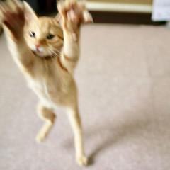 They can fly. But too fast. #Tokyo #日本 #東京 #Japan #cat #猫 #ネコ #ねこ #Katze #chat #gatto #gato #feles #кошка #KAT #gato #قط #고양이 #חתול #ឆ្មា #kočka #kass #گربه #муур #pisică