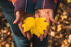 Yellow maple leaf in the hands of a girl in the autumn forest