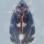 Aleurocanthus spiniferus (Quaintance 1903) ♂ (Hemiptera Sternorrhyncha Aleyrodidæ Aleyrodinæ Aleurocanthini) - https://www.flickr.com/people/132574141@N04/