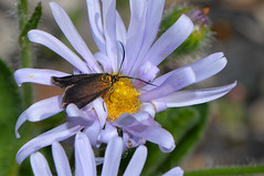 Forester moth on Olearia rudis