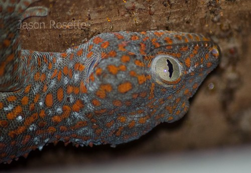 Head of a House Gecko, Cambodia