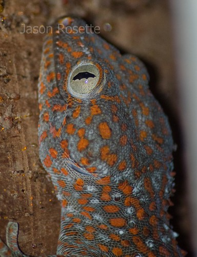 Head of a House Gecko, Cambodia (#2)