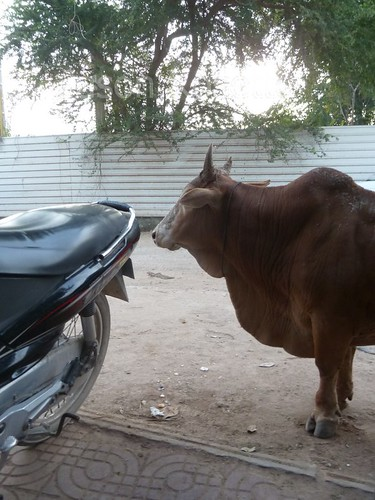 Cow with Stunted Legs Near a Motorbike in Cambodia