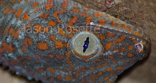 Close up Head of a House Gecko, Cambodia