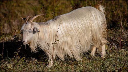 Goats .