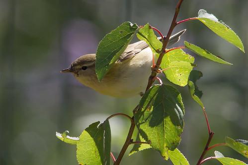 Peeking Warbler