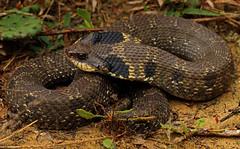 Eastern Hognose Snake (Heterodon platyrhinos)