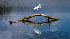 Egret balancing act