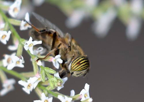 Band-eyed drone fly (Eristalinus taeniops)