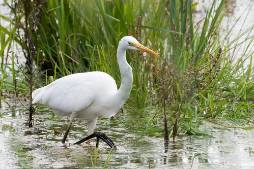 Grande Aigrette Ardea alba - Great Egret