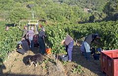 Vendage chardon 63 - Photo of Malras
