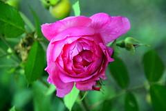 The last rosebud.